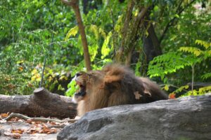 A lion in Bronx Zoo, one of the places you should visit once you decide to explore Pearl River with your family.